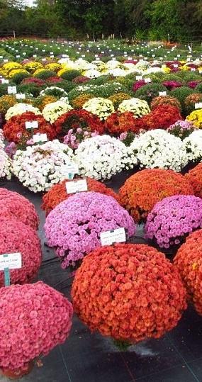 хризантема мультифлора на осень 2019г