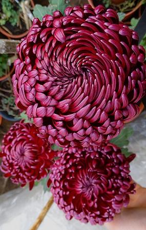 Крупноцветковые на осень 2019г