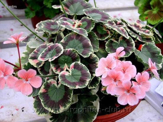 33 Пеларгония   Pink Dolly Varden