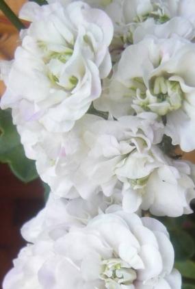 12 Пеларгония Айс роз