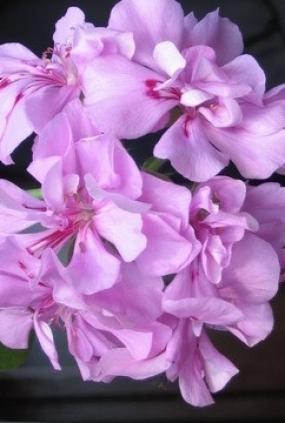 14 Пеларгония Lilac Tender