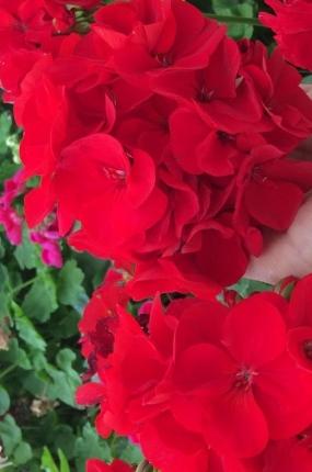 30 Пеларгония Calliope Dark Red