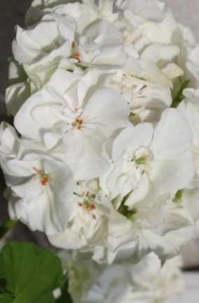 38 Пеларгония    White Butterfly
