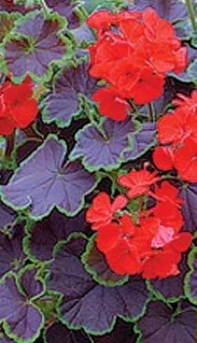 39 Пеларгония   Black velvet scarlet
