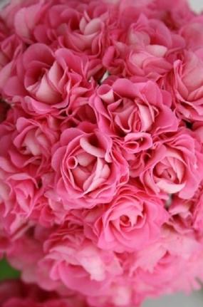44 Пеларгония    Swanland pink(Australian pink rosebud)