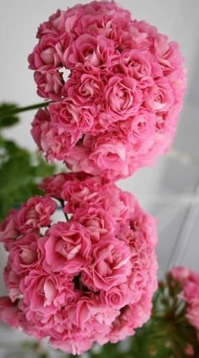 44 Пеларгония Swanland pink rousebud  крупное соцветие куст небольшой