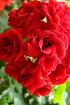 48 Пеларгония    Leufsta rosebud