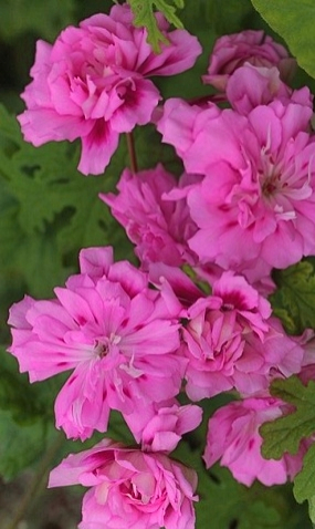 54 Пеларгония unicorn zonartic rose