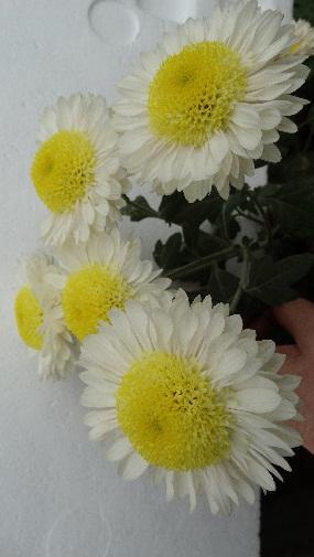 Апенинская белая 10-12см / 110см/ с июня до заморозков
