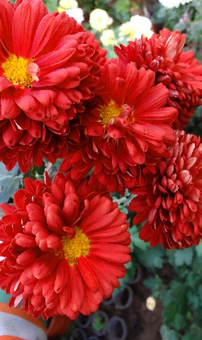 Риана  9,5см/ 140см/цветение с июля-августа