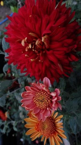 Метлок, махровый14-16см цветок/140см/ расцветает в августе