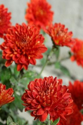 Daybreak Dark рэд,3-4см40смавгуст, оччень яркий красный
