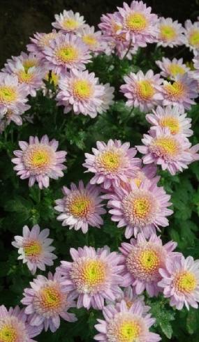 ванилла, цветок7см, куст до 60см