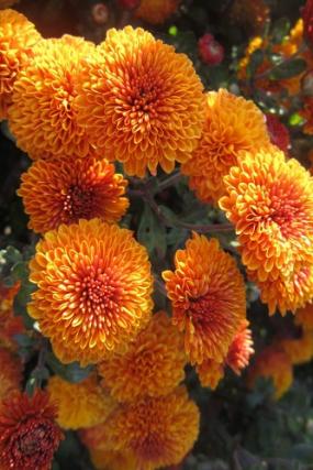 АУСМА, цветок 4см, куст 35-40см, с конца августа, зимует с лёгким укрытием