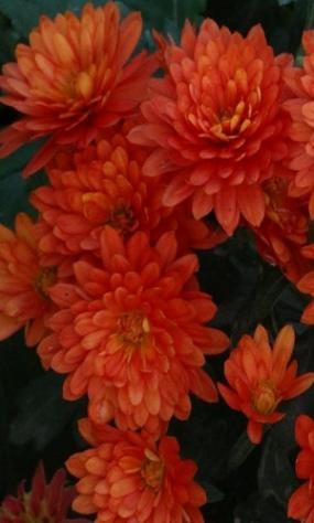АЛАЯкуст40см, цветок 3,5см, зимует, начало цветения сентябрь