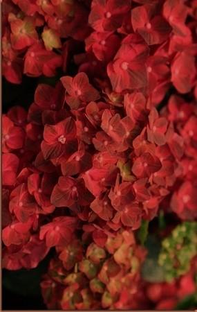 Руби тьюсдей крупнолистная