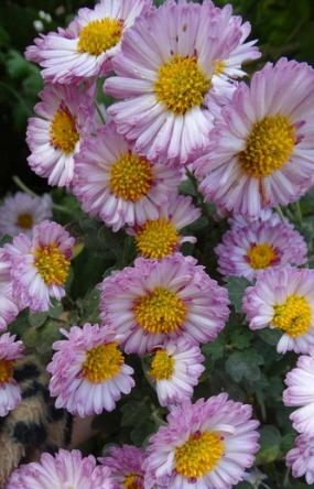 Гретхен, зимующий сорт, 4,5/35см, начало цветения, конец сентября