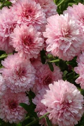 молфета роуз, мультифлора
