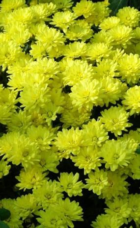 брандине, яркий лимонный цвет - сияющий, ранняя - август