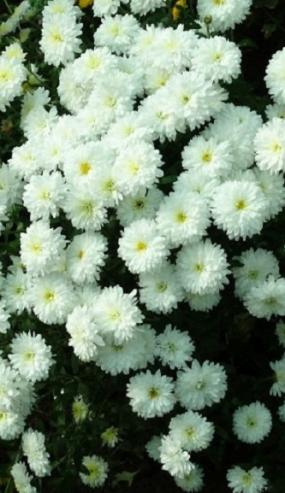 ивонна, распускается цвета крем-брюле, потом чисто белая 6 см цветок