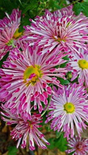 Олина, корейка, ранняя, веточная, 12 см цветок