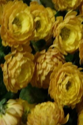 ГИГИ ЕЛЛОУ, цветет с сентября до конца ноября