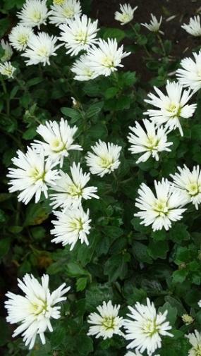 изольда, средне поздняя, долго цветет, цветок не поникает