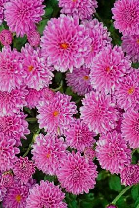 Дальневосточница, веточная, цветение сентябрь, зимует в о\г